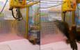 台灣鸚鵡「被當公仔夾」四處躲避 網民直斥虐鳥