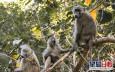 印度猴子闖醫學院 搶走新冠病毒患者血液樣本