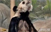 兩隻旅美大熊貓 瘦骨嶙峋疑遭虐待