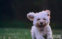 捷克研究:狗隻可聞出新冠病毒 準確率達95%