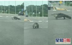 美国佛州路口惊见大鳄鱼过马路 司机纷纷不敢移动