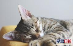 东涌混种短毛猫对新冠病毒呈阳性 饲主为确诊病患接触者