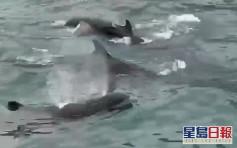 約百條偽虎鯨驚現維港 海豚保育學會:不排除貪玩或迷路
