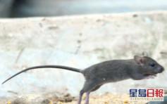 去年鼠患指數升至4.2% 灣仔區最嚴重