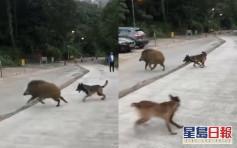 【有片】大埔狗主疑放任两狗追野猪 关注组忧酿意外