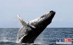 疫情影響加日本偏袒本國漁民 冰島兩大捕鯨公司今年停捕