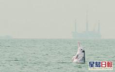 中華白海豚僅37條出生率和存活率同偏低 學會:情況令人擔憂
