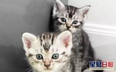 上環患者飼養美國短毛貓新冠測試陽性 漁護署指無病徵
